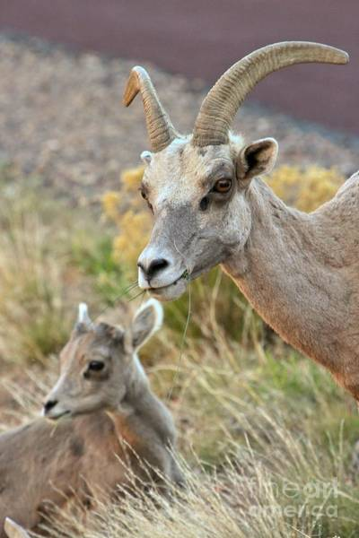 Photograph - Young And Old Big Horn Sheep by Adam Jewell