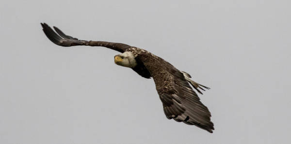 Photograph - Young Bald Eagle by Gloria Anderson