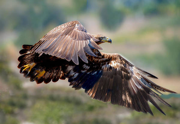 Wall Art - Photograph - Young Bald Eagle by Greg Waters