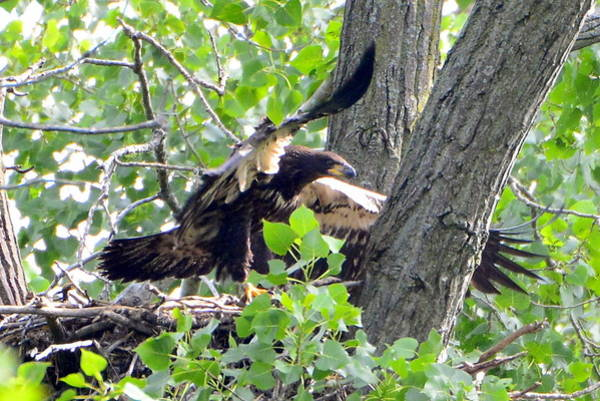 Wall Art - Photograph - Young Bald Eagle by Mark Madion