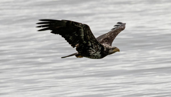 Photograph - Young Bald Eagle Over The Ocean by Gloria Anderson