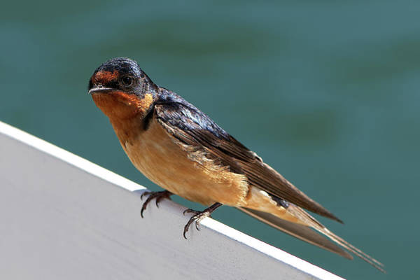 Photograph - Young Barn Swallow by Sharon Talson