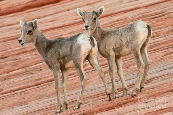 Photograph - Young Big Horn Sheep by Adam Jewell