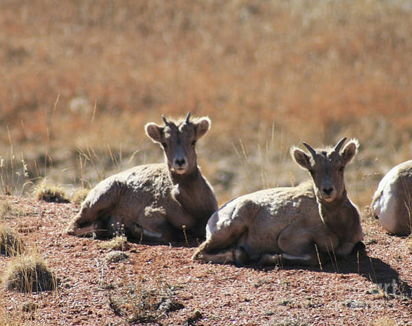 Photograph - Young Bighorn by Tony Baca