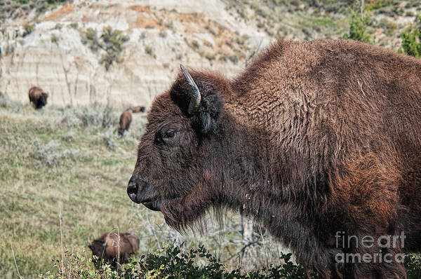 Photograph - Young Bison by Craig Leaper