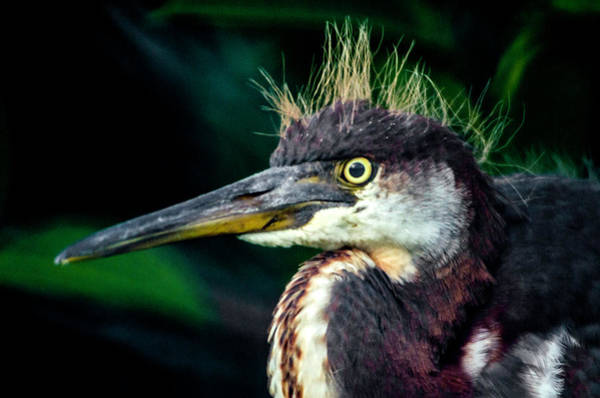 Photograph - Young Blue Heron by Wolfgang Stocker