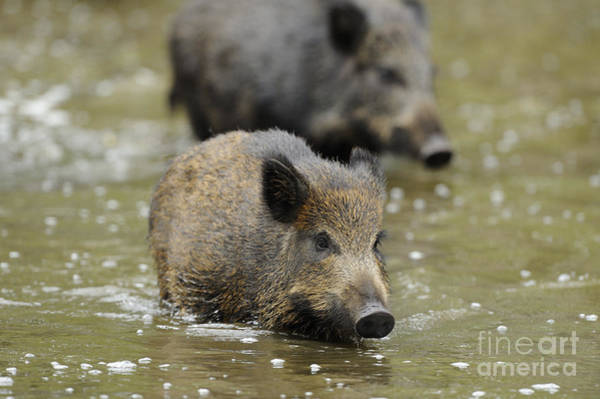 Photograph - Young Boars In Mud Puddle by David & Micha Sheldon