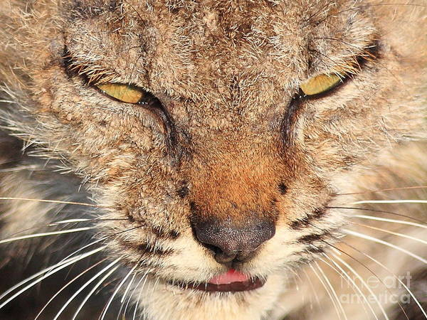 Photograph - Young Bobcat Portrait 01 by Wingsdomain Art and Photography
