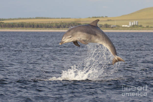 Photograph - Young Bottlenose Dolphin - Scotland #13 by Karen Van Der Zijden