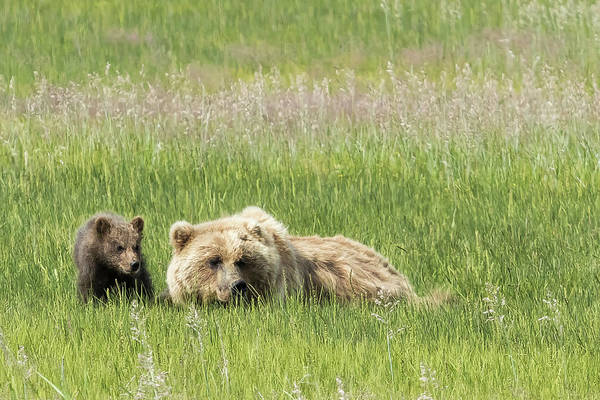 Photograph - Young Brown Bear Cub And Its Mother, No. 1 by Belinda Greb
