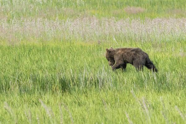 Photograph - Young Brown Bear Cub, No. 1 by Belinda Greb