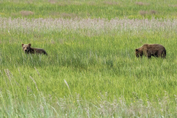 Photograph - Young Brown Bear Cubs by Belinda Greb