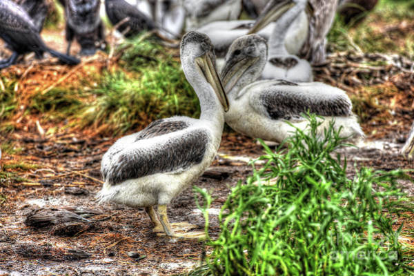 Pelican Island National Wildlife Refuge Wall Art - Photograph - Young Brown Pelican, Smith Island, Maryland  by Greg Hager