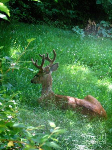 Photograph - Young Buck Laying In The Spring Grass by Delores Malcomson