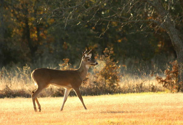 Photograph - Young Buck On A Fall Morning by Sheila Brown