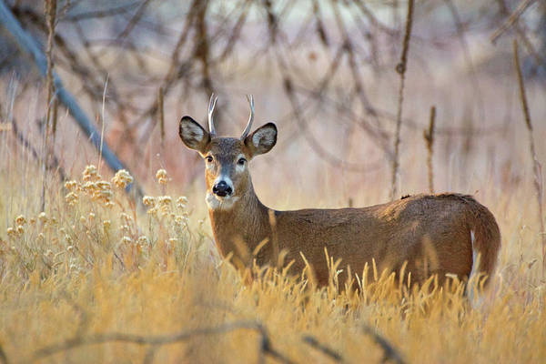 Photograph - Young Buck White-tailed Deer by John De Bord