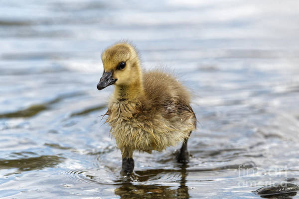 Photograph - Young Canada Goose - Getting Feet Wet by Sue Harper