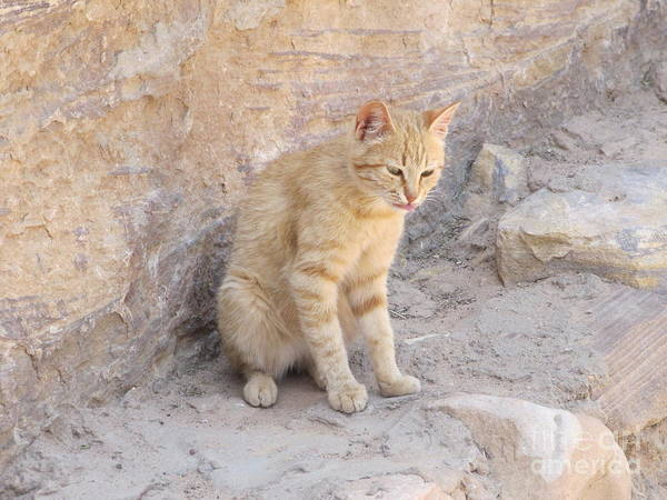 Photograph - Young Cat Triplet At Petra by Donna L Munro