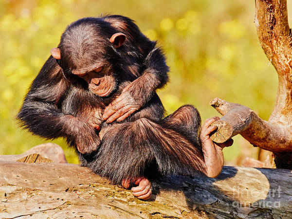 Photograph - Young Chimp On A Tree by Nick  Biemans