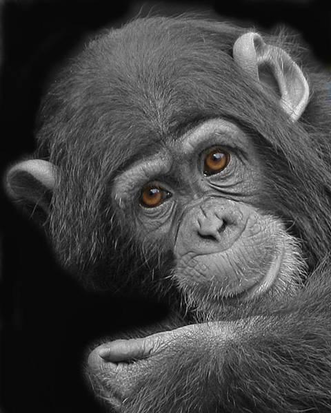 Young Chimpanzee Art Print