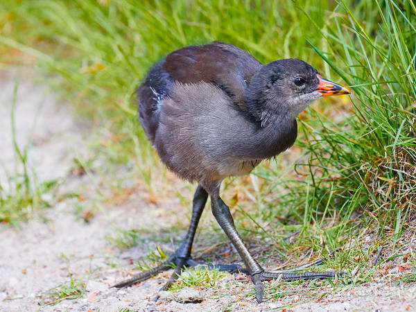 Photograph - Young Common Moorhen by Nick  Biemans