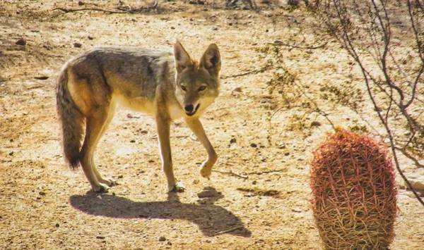 Photograph - Young Coyote And Cactus by Judy Kennedy