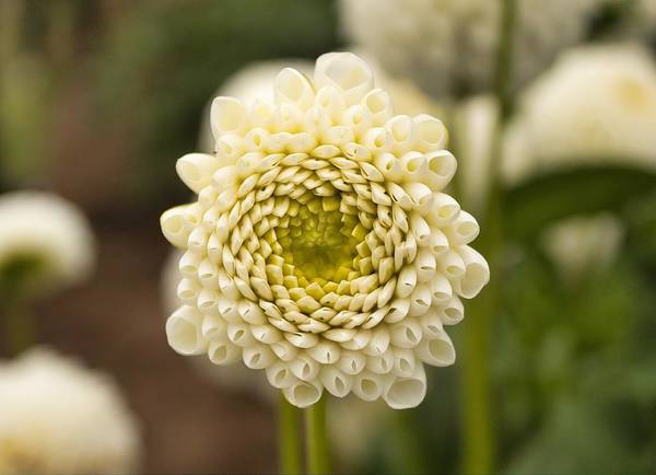 Photograph - Young Dahlia by Brian Eberly
