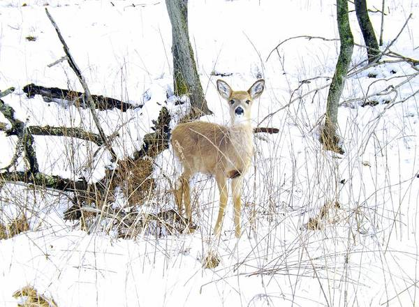 Young Doe And Spring Snow Art Print