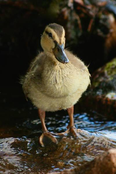 Photograph - Young Duck by Polly Castor