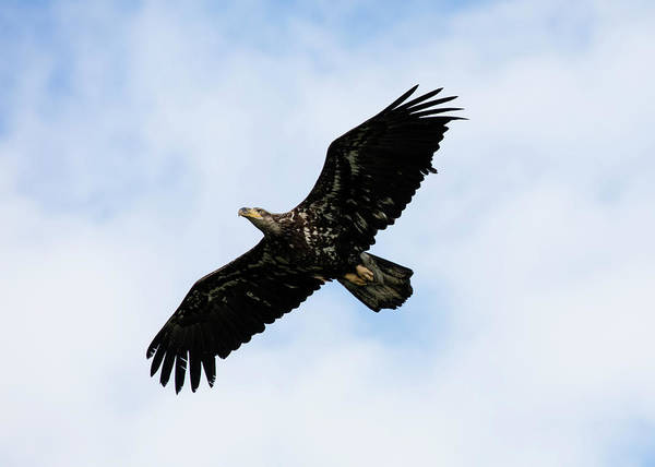Photograph - Young Eagle In Flight by Gloria Anderson
