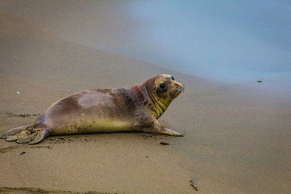 Cambria Photograph - Young Elephant Seal by Garry Gay