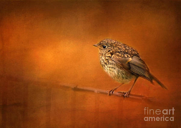Inverary Castle Wall Art - Photograph - Young English Robin by Judi Bagwell