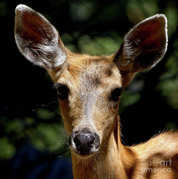 Photograph - Young Fawn by Sue Harper