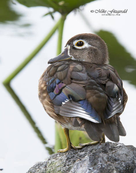 Photograph - Young Female Wood Duck by Mike Fitzgerald