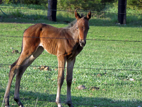 Photograph - Young Foal by Cindy Murphy - NightVisions