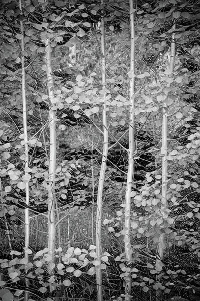 Photograph - Young Forest by James BO Insogna