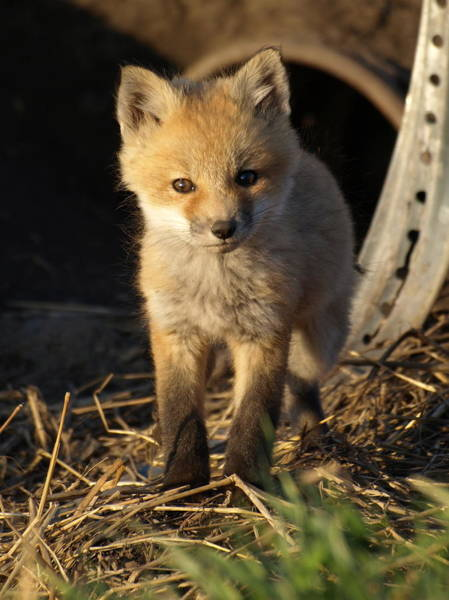 Photograph - Young Fox Kit by James Peterson