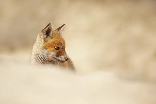 Wall Art - Photograph - Young Fox Series -  Contemplating Cub by Roeselien Raimond