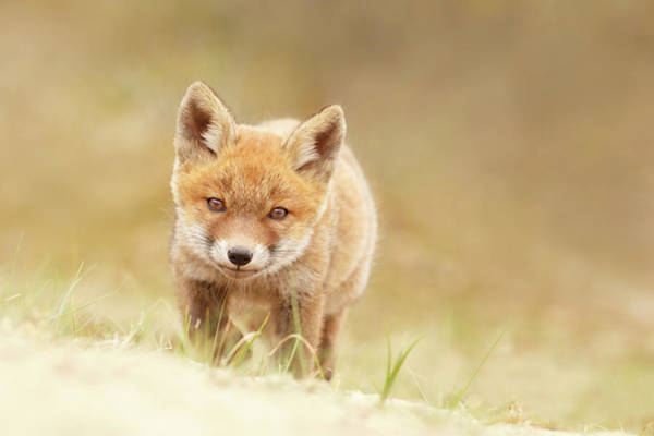 Wall Art - Photograph - Young Fox Series -  Resistance Is Futile by Roeselien Raimond
