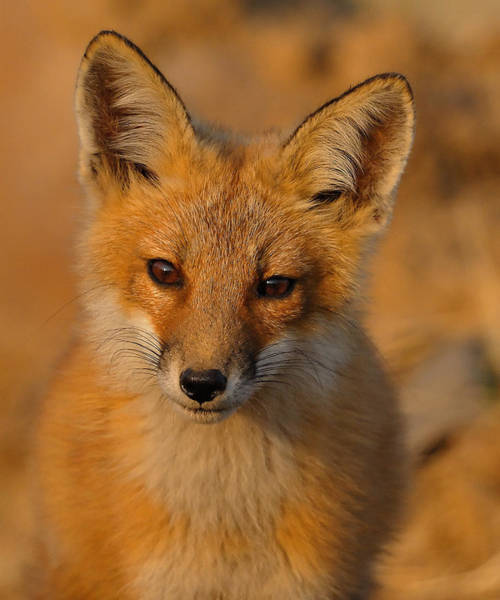 Photograph - Young Fox by William Jobes