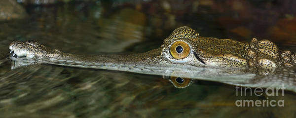 Wall Art - Photograph - Young Freshwater Crocodile By Kaye Menner by Kaye Menner
