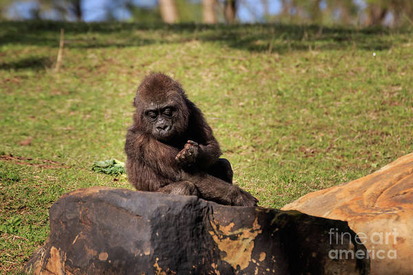 Photograph - Young Gorilla by Richard Smith