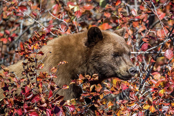 Wall Art - Photograph - Young Grizzly by Paul Freidlund