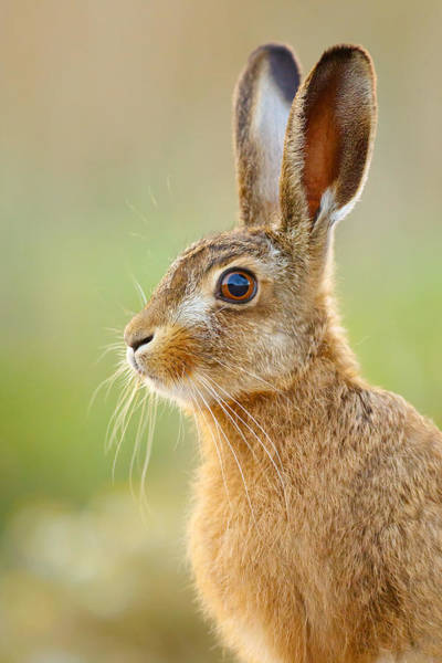 Photograph - Young Hare Portrait by Simon Litten