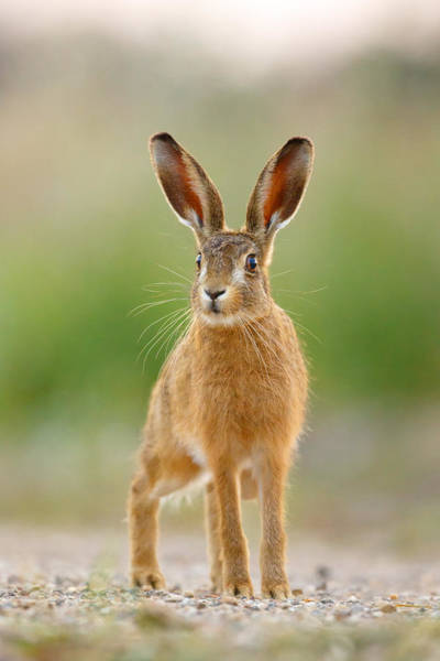 Photograph - Young Hare by Simon Litten