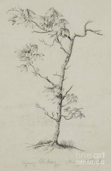 Wall Art - Drawing - Young Hickory, 1823 by Thomas Cole