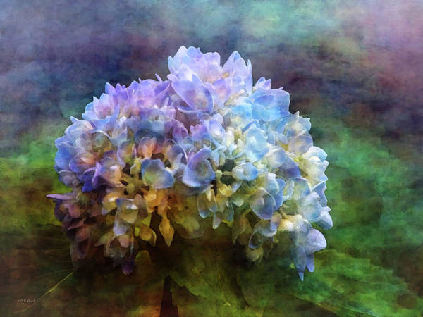 Photograph - Young Hydrangea 3776 Idp_2 by Steven Ward