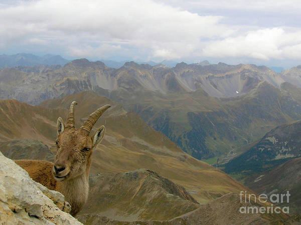Jagged Photograph - Parc Ela Ibex by DiFigiano Photography