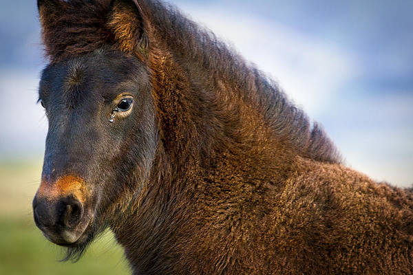 Photograph - Young Icelandic Horse by Stuart Litoff