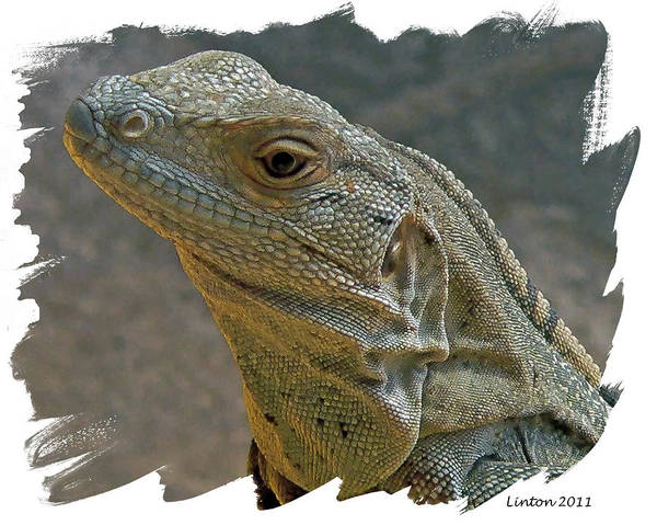 Iguana Digital Art - Young Iguana by Larry Linton
